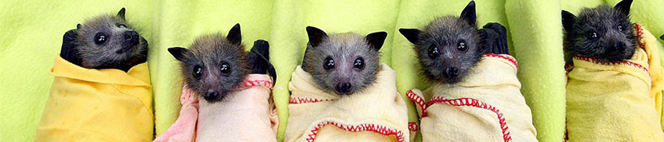 Baby bats wrapped in blankets