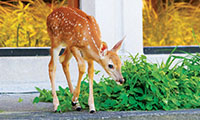 Fawn eating grass