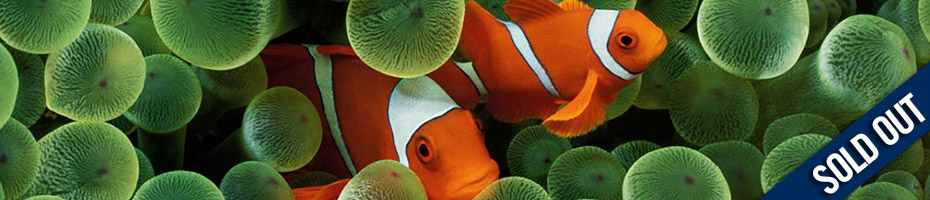 "Clown fish in coral reef with text overlay ""SOLD OUT"""