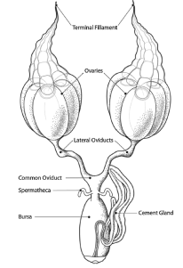 The female reproductive system of the kissing bug rhodnius prolixus a diagram showing the reproductive system of rhodnius prolixus ccuart Gallery