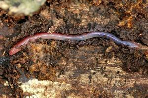 earthworm on the ground