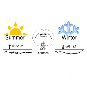 Circadian clock in summer and winter