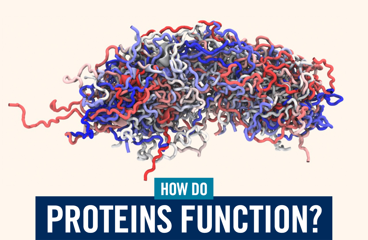 How do proteins function?