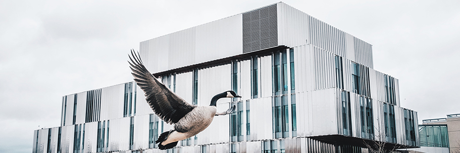 UTM Geese flying over Health Sciences Complex