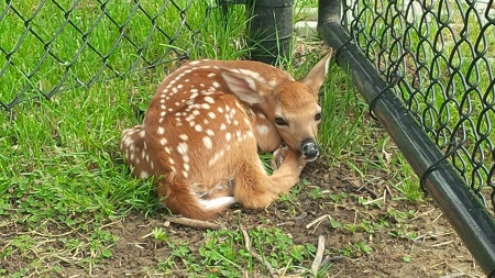A spotted fawn lying curled up in the grass