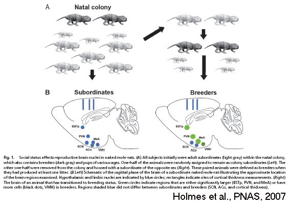 Schematic of how social status affects brain morphology