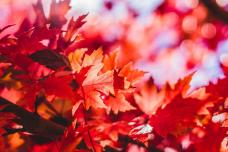 Photo of Red Fall Leaves