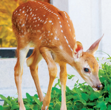Image of deer at UTM