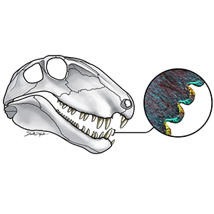 A drawing of Dimetrodon skull and magnified tooth image showing serrated edges
