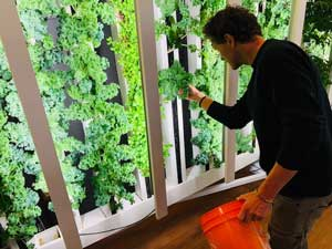A man picks kale leaves from an indoor vertical farm wall.