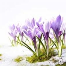 purple crocuses blooming in the snow