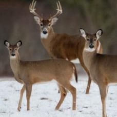 Family of deer standing in the snow.