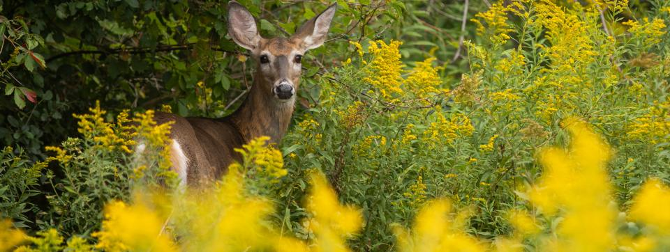 Deer looking directly at camera from between ferns