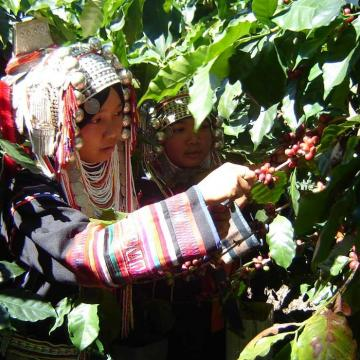 Two women picking beans from a tree
