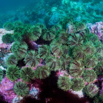 Underwater photo of sea urchins on a reef-like structure in Alaska