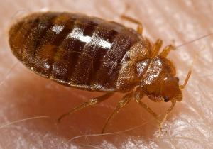 bed bug on human skin