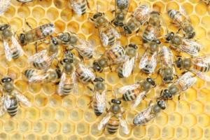 Buckfast bees clustered on honeycomb