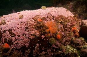 Thick crusts of the sea-floor red alga Clathromorphum. This alga can be found in coastal regions of the North Atlantic, North Pacific and Arctic Ocean, where it can live for hundreds of years. Photograph taken by Nick Caloyianus