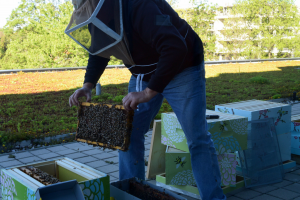 Don Forster wears a net and helmet as he harvests honey from the UTM beehives