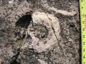 Close up photo of a fossilized archaeocyathans or sea sponge embedded in rock