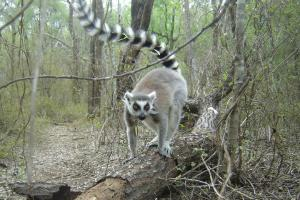 Ring-tailed lemur in a forest