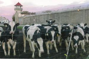 Holstein cattle outside of Frontenac Institution prison
