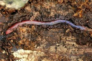 earthworm crawling through soil