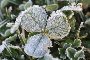 clover leaves covered in frost