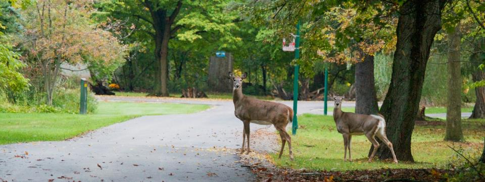 Deer on UTM Campus