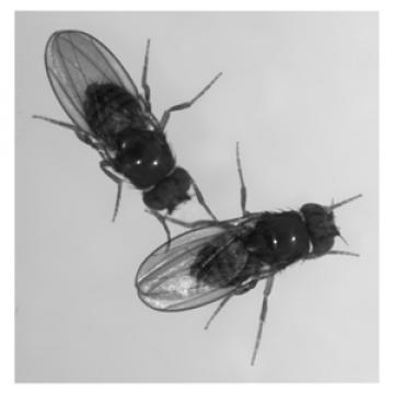 Black-and-white photo of two fruit flies