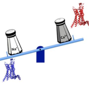Image of salt tipping the scales with GPCR-related cell signaling